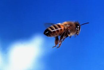 A bee or fly can be as attracted to sugary honeydew as it is to nectar.