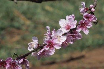Peach flowers emerge in late winter, signaling the time to begin spraying for fungal control.