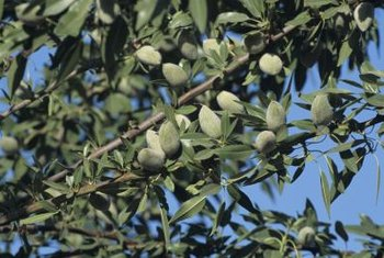 Almond fruit turns from pale green to tan as it matures.