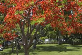 The fiery red flowers of a royal poinciana tree