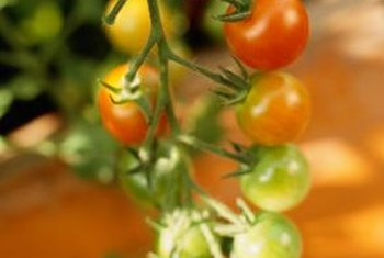 Tomatoes thrive in a greenhouse.