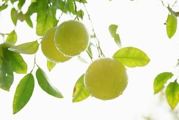 Citrus trees usually bloom in the spring and ripen fruit over the fall and winter.