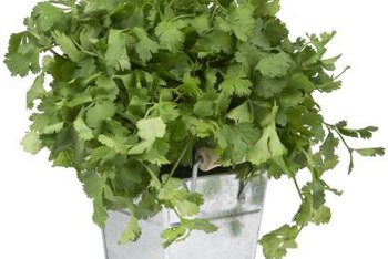 Divide the root stem from cilantro to create more plants.