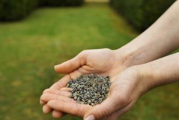 Broadcasting grass seed will rejuvenate an existing lawn.