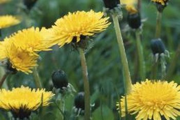 will cutting dandelion root off an inch below the surface of the