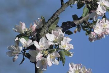 Improve the fruiting of your home orchard with hand-pollination.