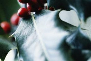 Holly shrubs produce flowers in summer and berries in winter.