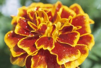 Dwarf marigolds grow 1 foot tall.