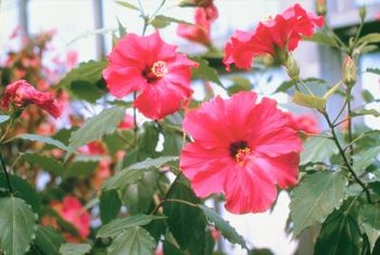Hibiscus flowers form on the tips of branches.