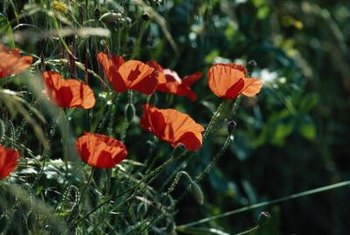 Ornamental poppies bring bright colors to the spring garden.