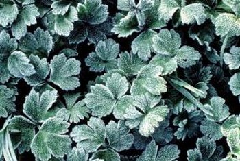 Frost can severely damage plant tissues, causing discoloration or death.