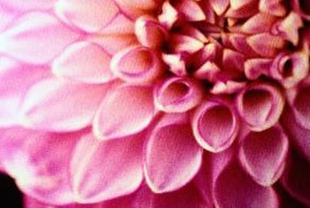 Dahlia types vary widely in appearance.