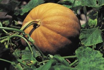 To control weeds in a pumpkin patch, choose the right herbicide for the plant's growth stage.
