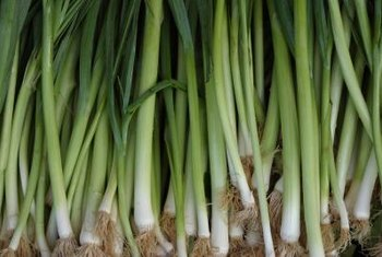 With succession planting you can harvest fresh scallions continuously for several months.