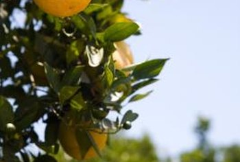 A healthy orange tree with no sign of powdery mildew.