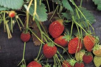 Pest-free strawberry plants will produce an abundance of fruit.