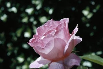 Some pests only attack light-colored roses.