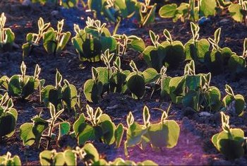 Soybean seedlings grow into a plant that resembles bush beans.
