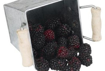 Fully ripe blackberries have a glossy exterior.