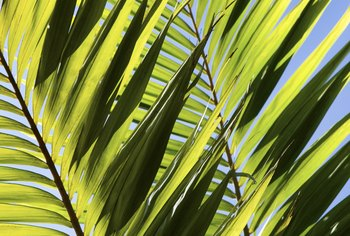 The correct fertilizer helps palm fronds stay green and vibrant.