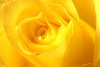 Choose a yellow hybrid tea for cut roses.