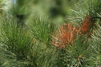 Brown foliage on an evergreen does not always indicate a dead tree.