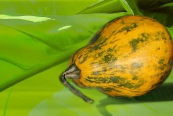 A fully ripe papaya displays very little green skin.