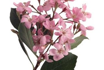 In the fall, Pink Lady blossoms are pale pink set against dark green leaves.