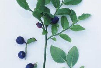 Rabbiteyes are one of several types of blueberries.