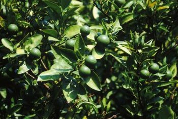 Healthy trees produce the best crop of limes.