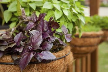 Basil is an annual herb that thrives in hanging baskets.