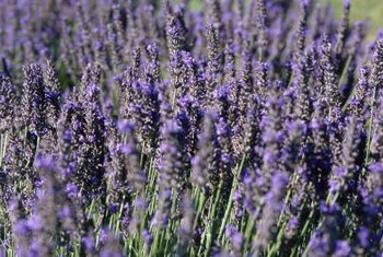 Proper mulching helps encourage lush lavender flowering.
