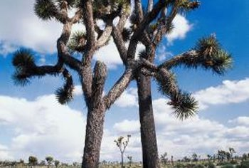 A young Joshua tree may not produce branches for 20 years.