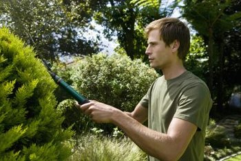 Pruning cypress shrubs is necessary to keep their shape.
