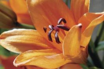 Daylilies are available in many different colors.