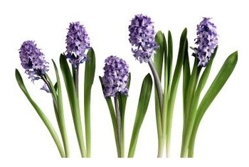 Hyacinths come in shades of purple, pink and white.