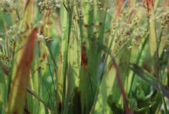 Invasive plants like nutsedge can be difficult to eliminate.