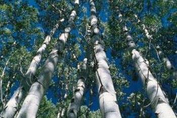 Root rot can deicimate the stateliest stands of birch.