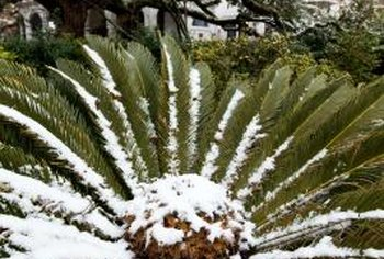 Female sago palms develop a cabbage-like center, while the males develop a cone.