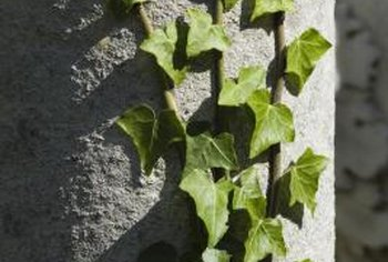 Ivies cling to surfaces with tiny roots that develop at the base of each leaf.