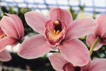 Cymbidium orchids are often used in corsages.