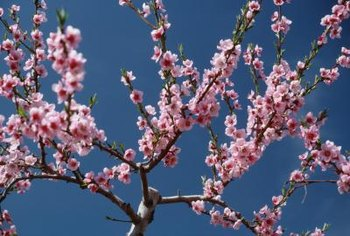 Okame cherry trees bloom before the leaves emerge in spring.