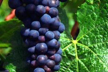 Bunch grapes are commonly trained to a Kniffen trellis system.