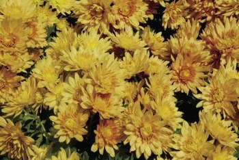 A light trim keeps mums looking their best and flowering well.