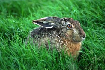 It's relatively easy to persuade a rabbit to leave your yard.