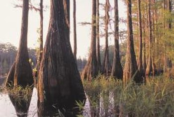 Cypress trees often ooze sap as an indication of disease.
