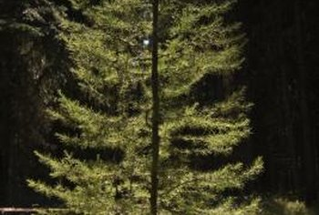 Evergreen trees keep their leaves and needles for year-round wind protection.
