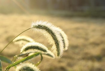 With hairs that point upward, the seed head has a distinctive fox-tail shape.