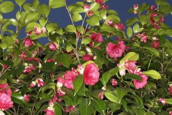 Camellia shrubs produces flexible branches easily trained along a wall.
