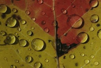 Excessive moisture on dwarf maple leaves leads to fungal diseases.